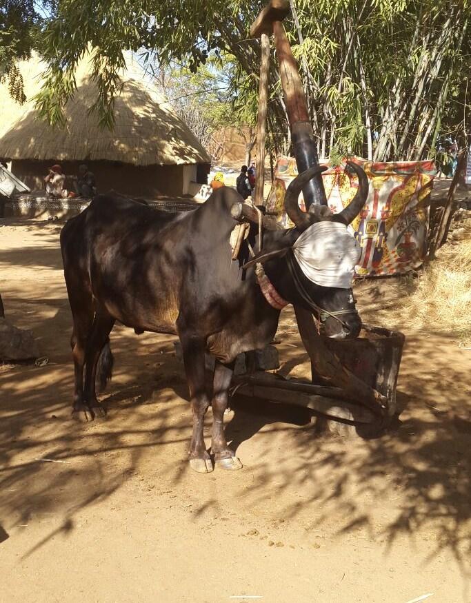 Shilpgram bull India Blindfolded oil press